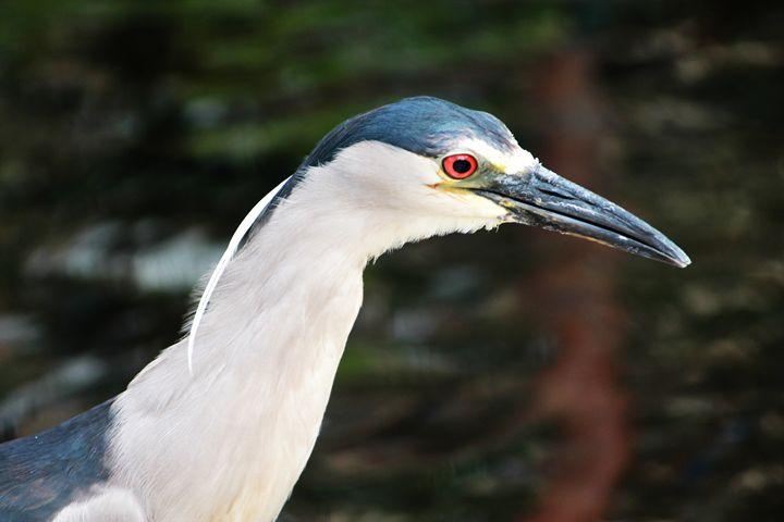 Hawaiian Egret - 5 Angels Photography