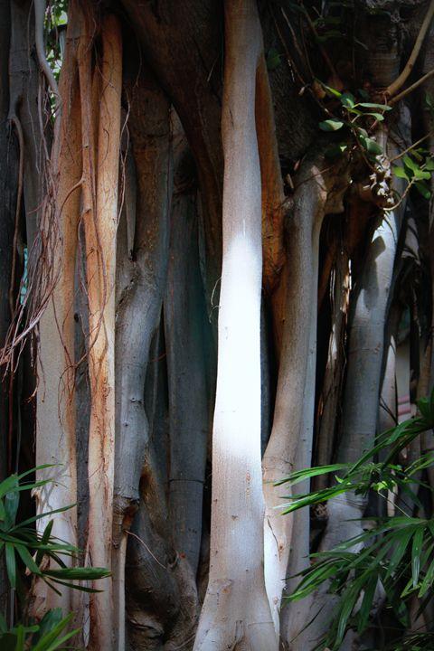 Banyan Trees - 5 Angels Photography