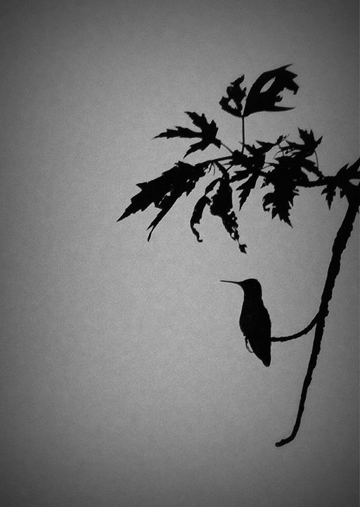Black and white hummingbird - 5 Angels Photography