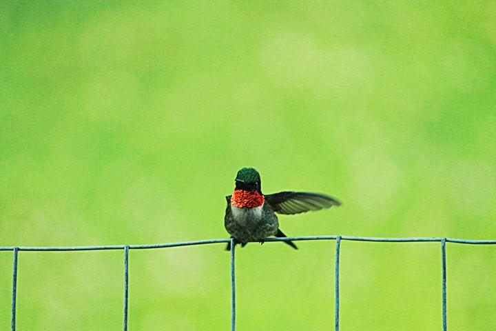 Hummingbird - 5 Angels Photography