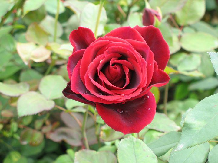 Red rose 1 - Alexandra Luiza Dahl