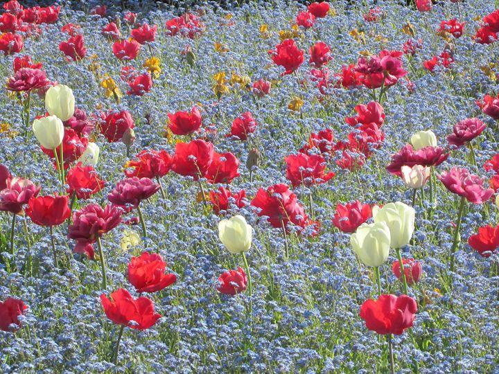 Tulips dream - Alexandra Luiza Dahl