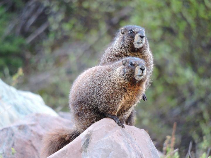 Two Marmots - William Slider