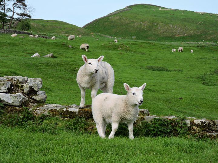 Hadrian's Sheep - William Slider