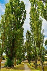 Tall Trees Lining Path
