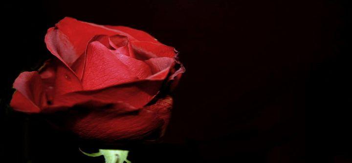 Red Rose - EVA Photography