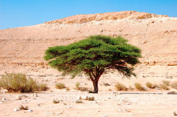 Umbrella Thorn Acacia Acacia tortili - PhotoStock-Israel