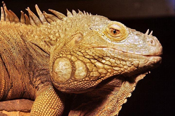 common green IGUANA, Iguana iguana - PhotoStock-Israel