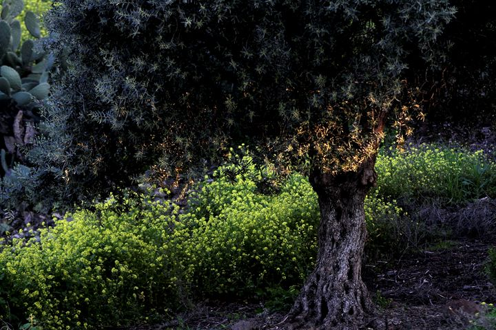Olive tree in a grove - PhotoStock-Israel