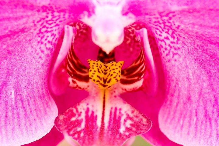 Purple Orchid - PhotoStock-Israel