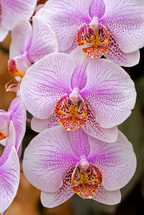 Mauve Orchid - PhotoStock-Israel