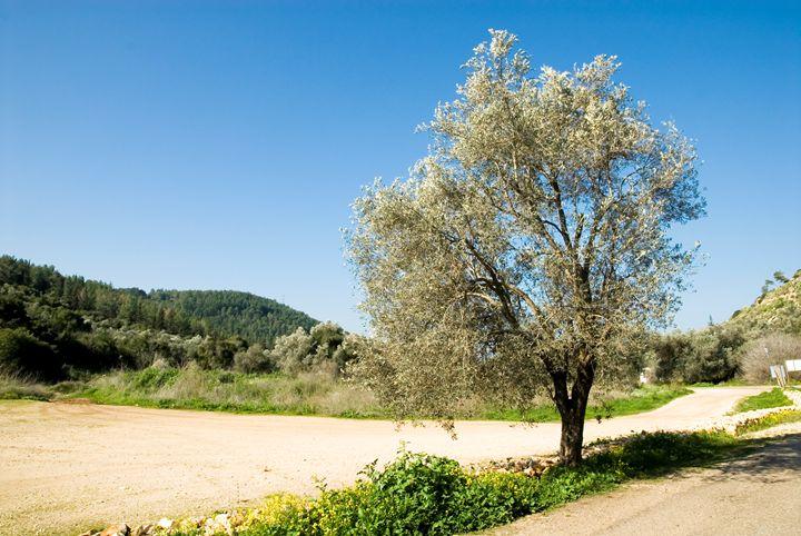 Israel Galilee Olive tree - PhotoStock-Israel