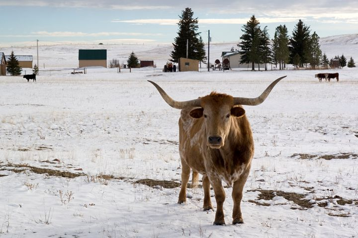 bull in the snow Wyoming WY USA - PhotoStock-Israel