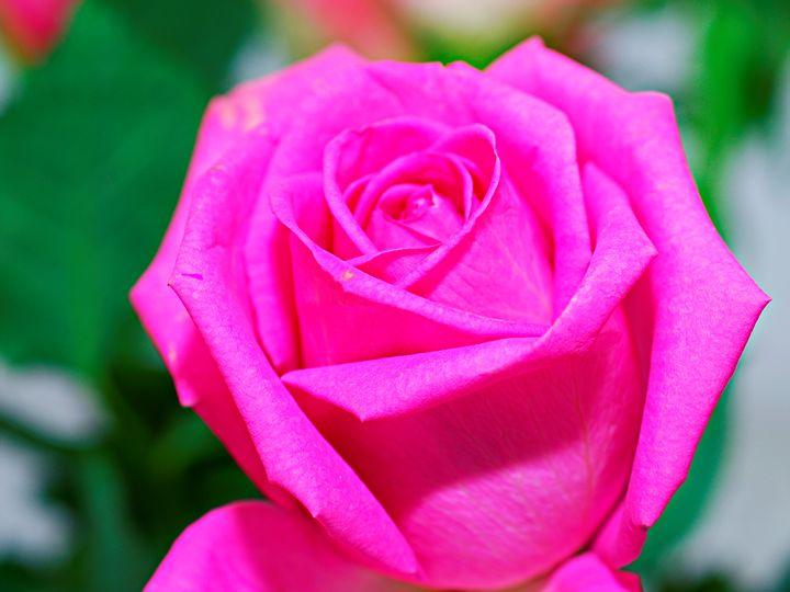 pink rose - PhotoStock-Israel