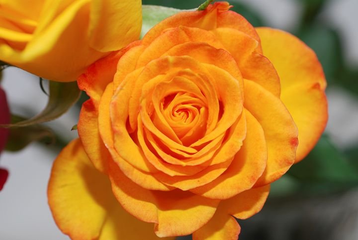 Yellow pink rose - PhotoStock-Israel