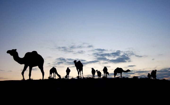 A herd of camels - PhotoStock-Israel