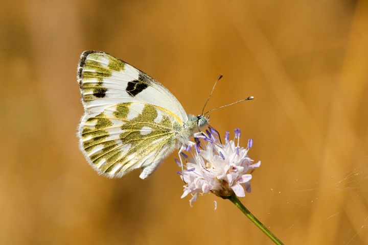 Bath White Butterfly - PhotoStock-Israel