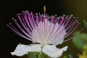 Common Caper Capparis spinosa - PhotoStock-Israel