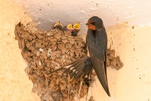 Barn Swallow with hatchlings - PhotoStock-Israel