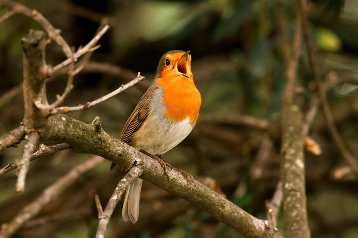 European Robin (Erithacus rubecula), - PhotoStock-Israel