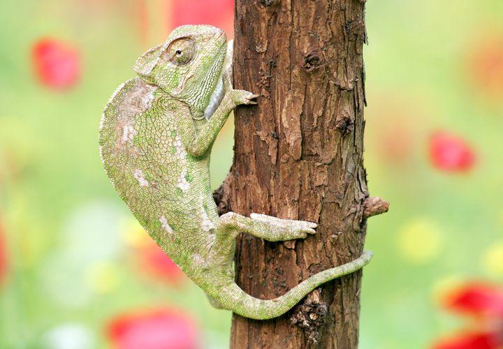 Common Chameleon (Chamaeleo chamaele - PhotoStock-Israel