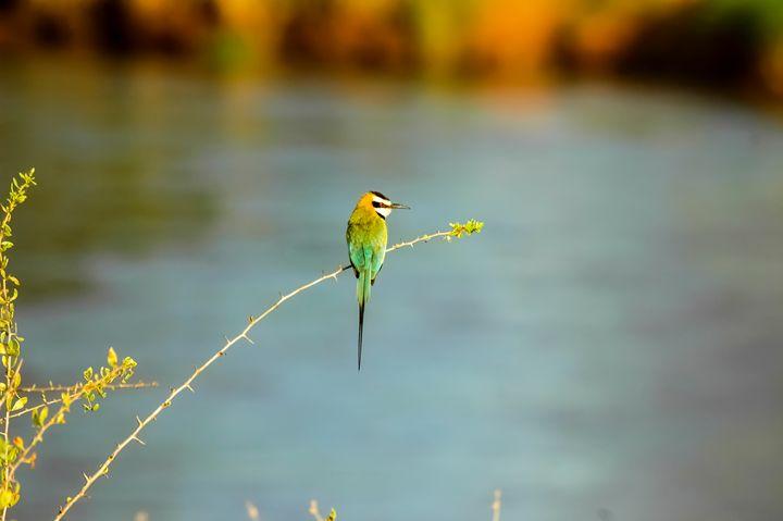 White-throated Bee-eater - PhotoStock-Israel
