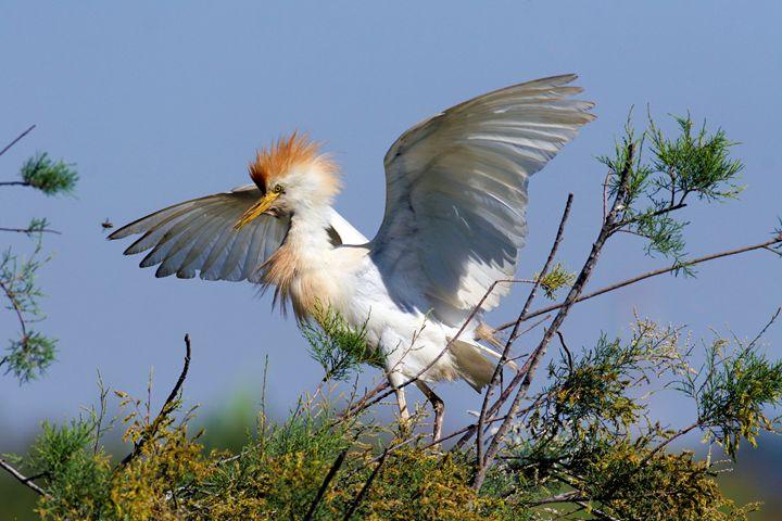 Cattle Egret (Bubulcus ibis) - PhotoStock-Israel