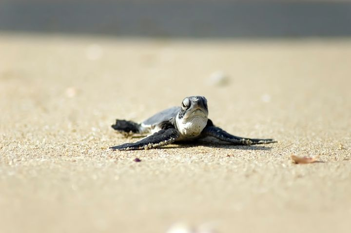 Chelonia mydas, green turtle, Israel - PhotoStock-Israel
