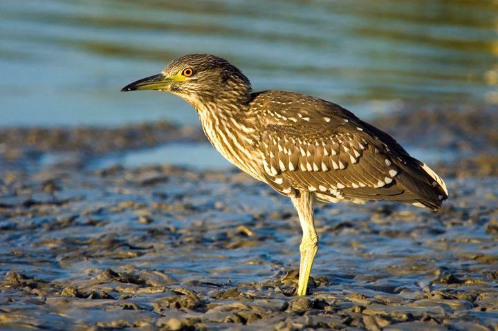 Black-crowned Night Heron, Israel - PhotoStock-Israel