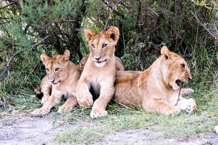 Lion cubs (Panthera leo) - PhotoStock-Israel