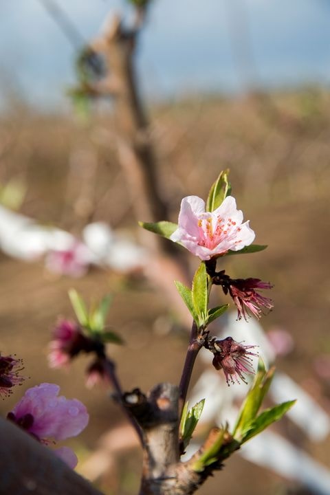 almond blossoms - PhotoStock-Israel
