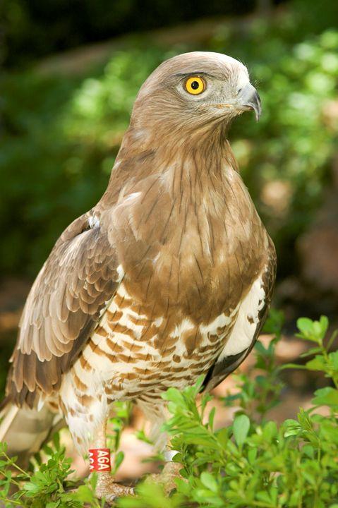 Short-toed Eagle, Circaetus gallicus - PhotoStock-Israel