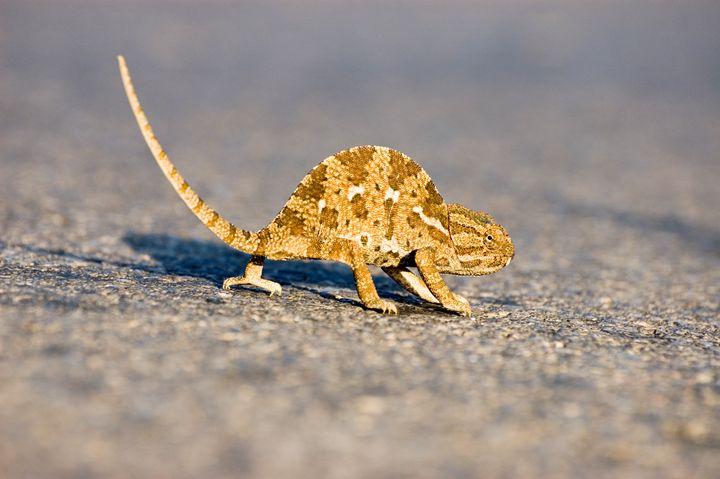 common chamaeleon, Chamaeleo chamael - PhotoStock-Israel