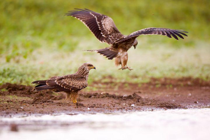 Black Kite (Milvus migrans) - PhotoStock-Israel