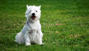 West Highland White Terriers - PhotoStock-Israel