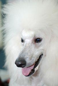 standard white poodle - PhotoStock-Israel