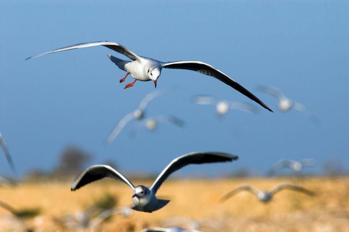 Black-headed Gull (Larus ridibundus) - PhotoStock-Israel