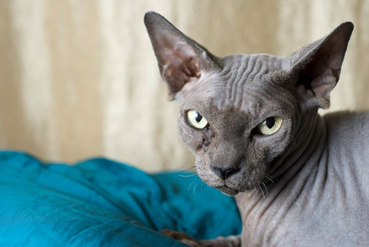Canadian Sphynx cat - PhotoStock-Israel