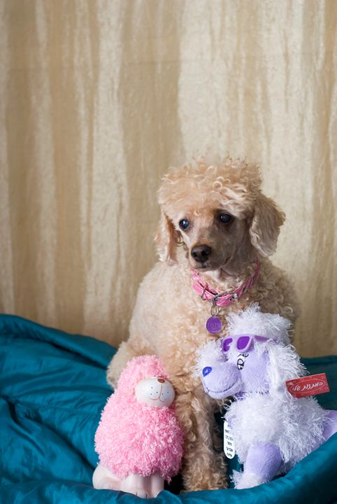 Apricot Miniature Poodle - PhotoStock-Israel