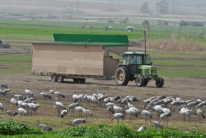a flock of Eurasian Cranes - PhotoStock-Israel