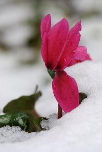 Persian Violet - PhotoStock-Israel
