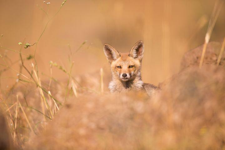 Red Fox (Vulpes vulpes). - PhotoStock-Israel