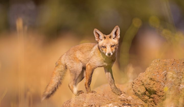 Red Fox (Vulpes vulpes). - PhotoStock-Israel