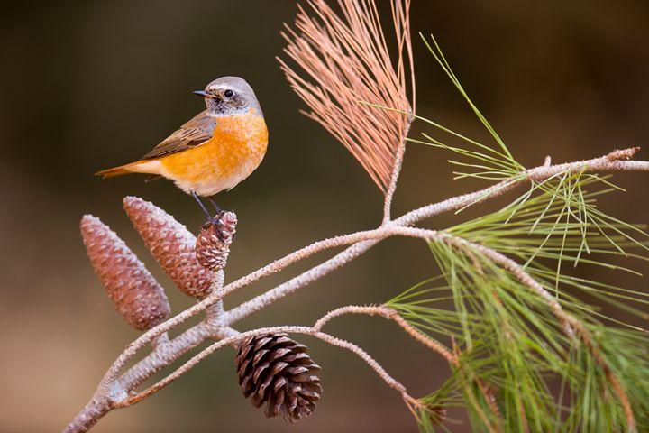 male redstart (Phoenicurus phoenicur - PhotoStock-Israel