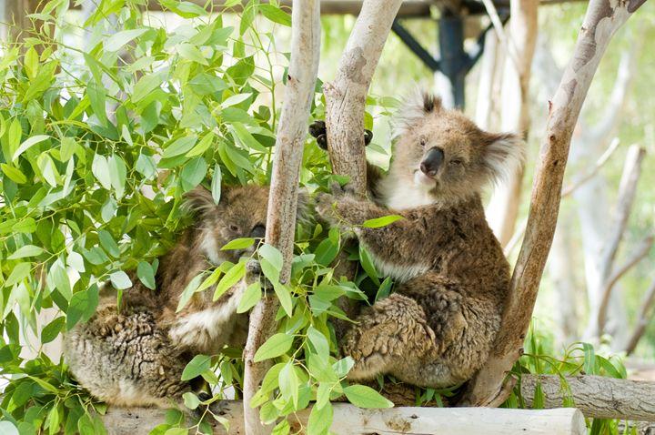 Female Koala in an Eucalyptus tree - PhotoStock-Israel