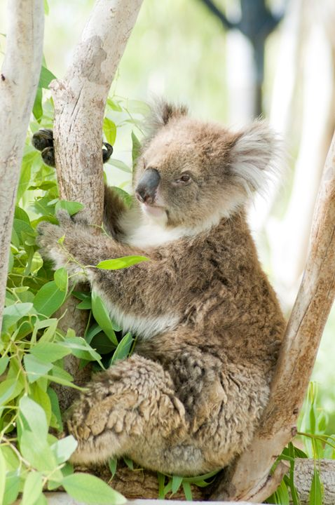 Female Koala in an Eucalyptus tree - PhotoStock-Israel