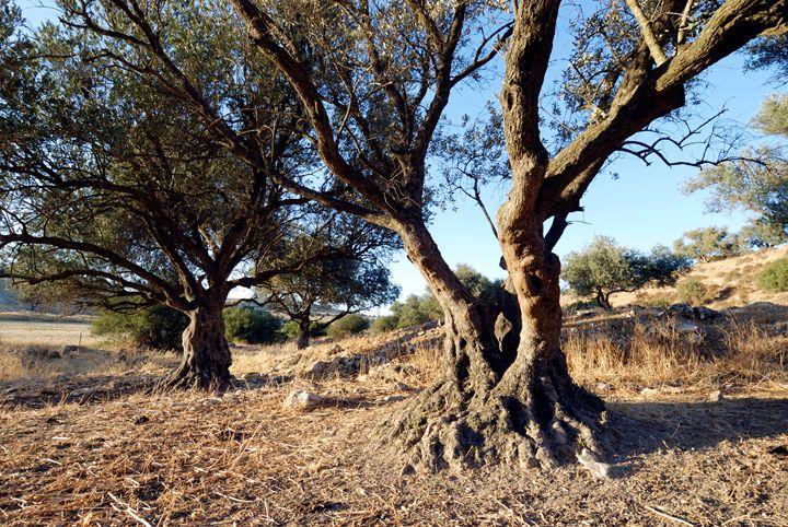 Israel, Lachish Olive tree - PhotoStock-Israel