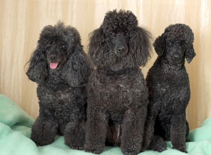 3 black miniature poodles - PhotoStock-Israel