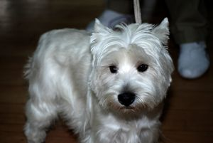 West highland white terrier - PhotoStock-Israel