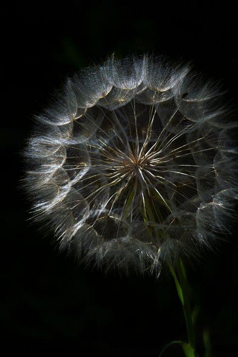 Dandelion blowball - PhotoStock-Israel